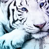 eyeofthetigress86: White Tiger (RD [Rainbow])