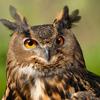 koji_ajimofu: (owl)