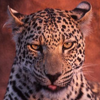 tornir: Photograph of a smirking leopard. (Heh)