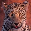 tornir: Photograph of a smirking leopard. (Heh)