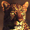 tornir: Photograph of a leopard with a serious expression, staring past the camera. (Serious)