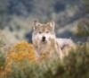 daymarket: (wolf, wilderness)