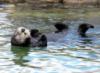 daymarket: (cuteness, otter)