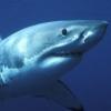 ormuz: (shark)