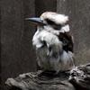 kenga1ru: (Kookaburra)