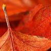 salixcatkin: (red leaf)