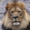 tanzanian_tales: (Lion)