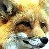 animaliamine: (Fox) (Default)