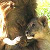 animaliamine: (Lions)