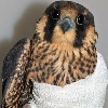 helgatwb: the upper body of an injured falcon, bandaged around one wing (injured)