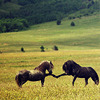 jenna_marianne: two horses fist bumping in a field (Horse Fistbump)