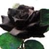 uberniftacular: (personal: black rose)