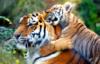 tigrenok: (Меня кушают)
