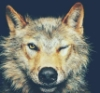 redheadfae: (wolfie wink)