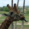 repliki: (giraffe)