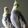 sherrilina: (Punky and Petie (my birds))