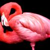 mellificent: (flamingos)