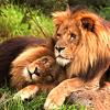fiddery: (lions)