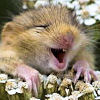 tephra: A field mouse in a flower head that looks like it is laughing loudly (LOL)