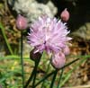 dchenes: (chives)