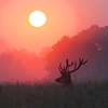 hiddleasaurus: (sunfire deer)