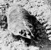 mirlacca: (B&W badger)