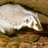 mirlacca: (badger under log)
