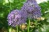 mirlacca: (hyacinth)