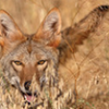 home_and_away: (coyote)