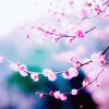 tinygriffonwings: a cherry blossom tree in spring (cherry blossom, spring)