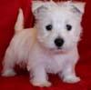 chalcedony: (westie pup)