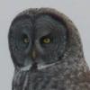 cb8531: (Owl)