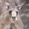 scallan: (kangaroo)