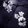 violaine: (Floral: Dark Flowers)