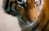 timetiger: (tiger)