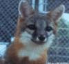 timetiger: (fox)