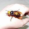 hellsop: (danger, wasp)