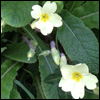 subbes: A photo of some primroses. (newport primroses)