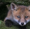 no_thief: (fox cub)