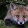 no_thief: (fox cub)