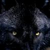 valkyriestears: (black wolf gaze)