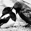 valkyriestears: (magpie/crow friends)