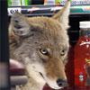 rustitobuck: (coyotebrighteyes)