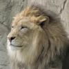 rustitobuck: (lion)
