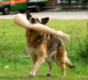 cyprinella: German Shepherd carrying a plastic leg (shedder leg)