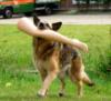 cyprinella: German Shepherd carrying a plastic leg (shedder leg)