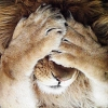 sharpest_asp: A lion's face covered by both his paws (General: Double facepaw)