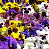 bleedingangel84: (pansies)