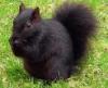 rawrin: (black squirrel)