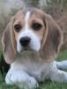 rawrin: (beagle)